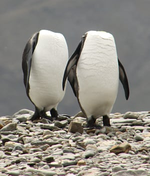 Photographer Charles Kinsey captures a pair of 'headless penguins' as they stretch to preen themselves simultaneously in south Georgia.