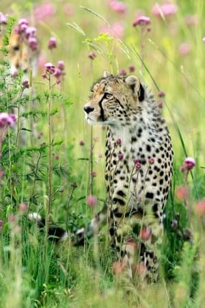 Cheetah amid flowers