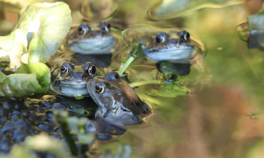 Frog spawn in Burton Upon Trent