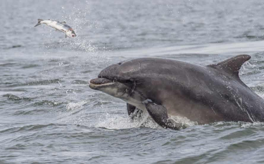 Scoopy the bottlenose dolphin catches a salmon at Chanonry point, near Inverness Scotland. summer.