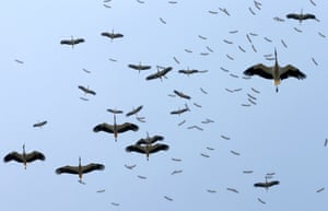 Istanbul, Turkey: Migrating storks gather in the sky over the city