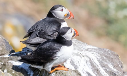Puffins are among the seabird species seen at RSPB St Bees.