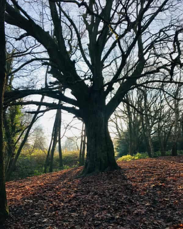 Nicola Muir's sycamore on Hampstead Heath.