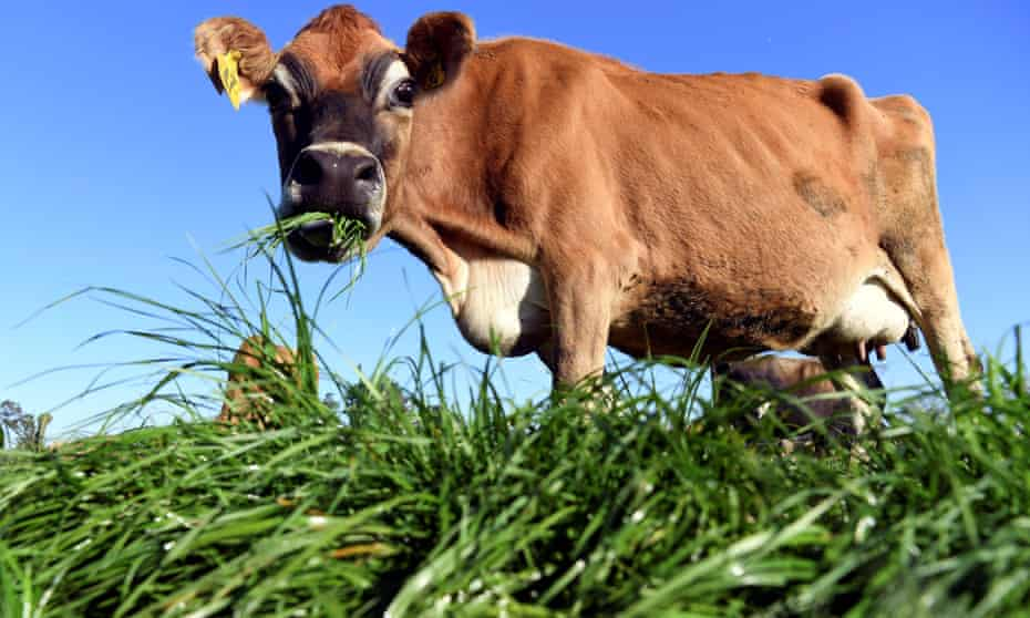 A photo taken on May 31, 2018 shows a cow eating fresh grass on a dairy farm near Cambridge.