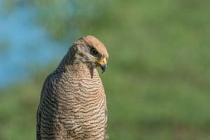 A savanna hawk ready to swoop down on its prey.