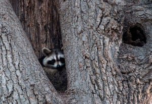 A raccoon rests in the hollow of a tree near Orchard Beach in New York, US