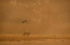Silhouette of a wild tiger walking along the shores of Raj Bagh lake on a misty winter morning in Ranthambore national park, Rajasthan, India
