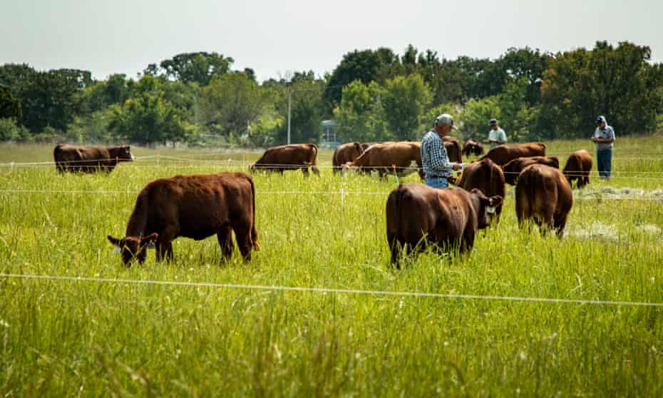 Prospective buyers mingle with cattle before the auction during the South Poll Field Day in Copan, Oklahoma.