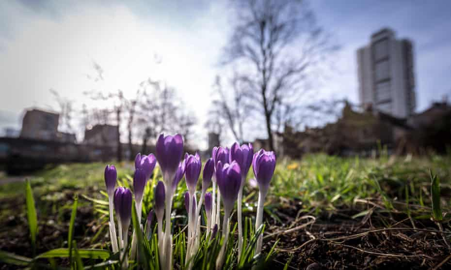 Spring Crocus flowers bloom in the morning light at Tower Hamlets Cemetery Park, London.