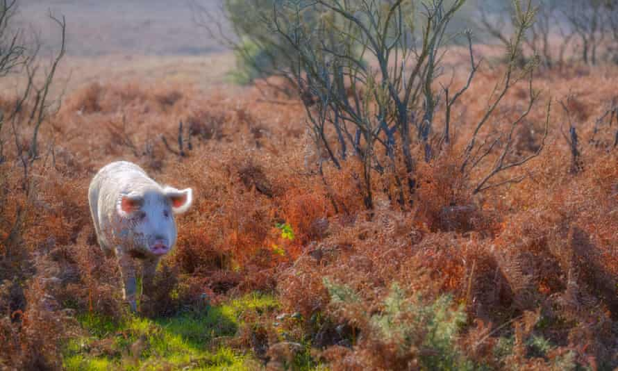 A pig in the New Forest.