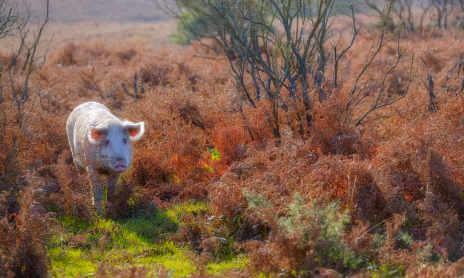 A pig foraging for acorns in the New Forest