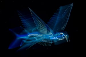 Nature – singles, third prize. A flying fish swims below the surface of the North Atlantic Ocean, in the Gulf Stream, late at night off the coast of Palm Beach, Florida, US