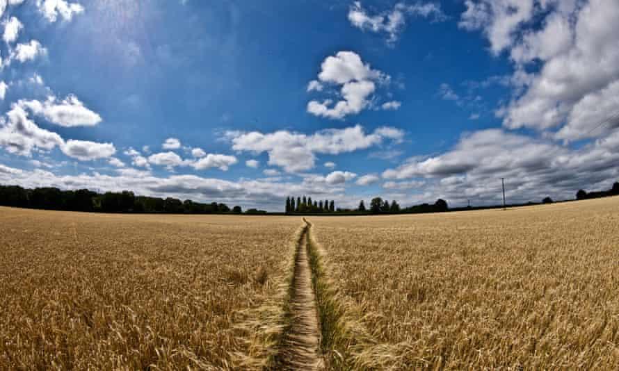 Wheat fields in Clayfield Copse, Berkshire.