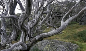 'A living tapestry of olive green, silvery grey and creamy white bark': the Alpine snow gum's mottled bark.