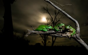 Measuring Up by Dave HerasimtschukAfter by a flood of rejuvenating rains, thousands of green tree frogs emerged upon the moonlit landscape of Australia's Macquarie marshes to breed. These frogs were photographed after a biologist had collected and measured them, looking to understand more about the intricate relationships between amphibians and the water flows within the marshes. Because of the important role frogs play in ecosystem health, the study hoped to gain knowledge that could then be applied to help improve environmental water allocation management in the Murray Darling river basin.