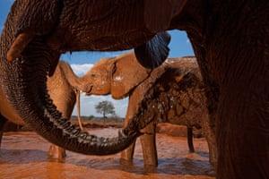 Elephants bathing,  Tsavo East national park, Kenya, 2010.