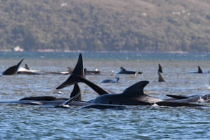 An estimated 250 pilot whales are reported stranded on sandy shoals in Tasmania