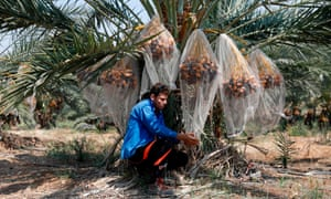 A Palestinian man harvests dates in the Jordan valley