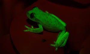 Fluorescing polka-dot tree frog