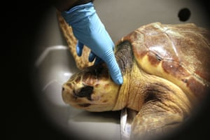 A loggerhead turtle is examined while resting in a crate at a marine animal rehabilitation centre near Boston, US