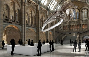 "An artist's impression of how the blue whale skeleton will look suspended and ""diving"" from the ceiling of the Hintze Hall."