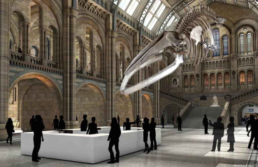 How the blue whale skeleton will look at the Natural History Museum once Dippy has left.