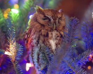 The owl nestled in a Christmas tree.
