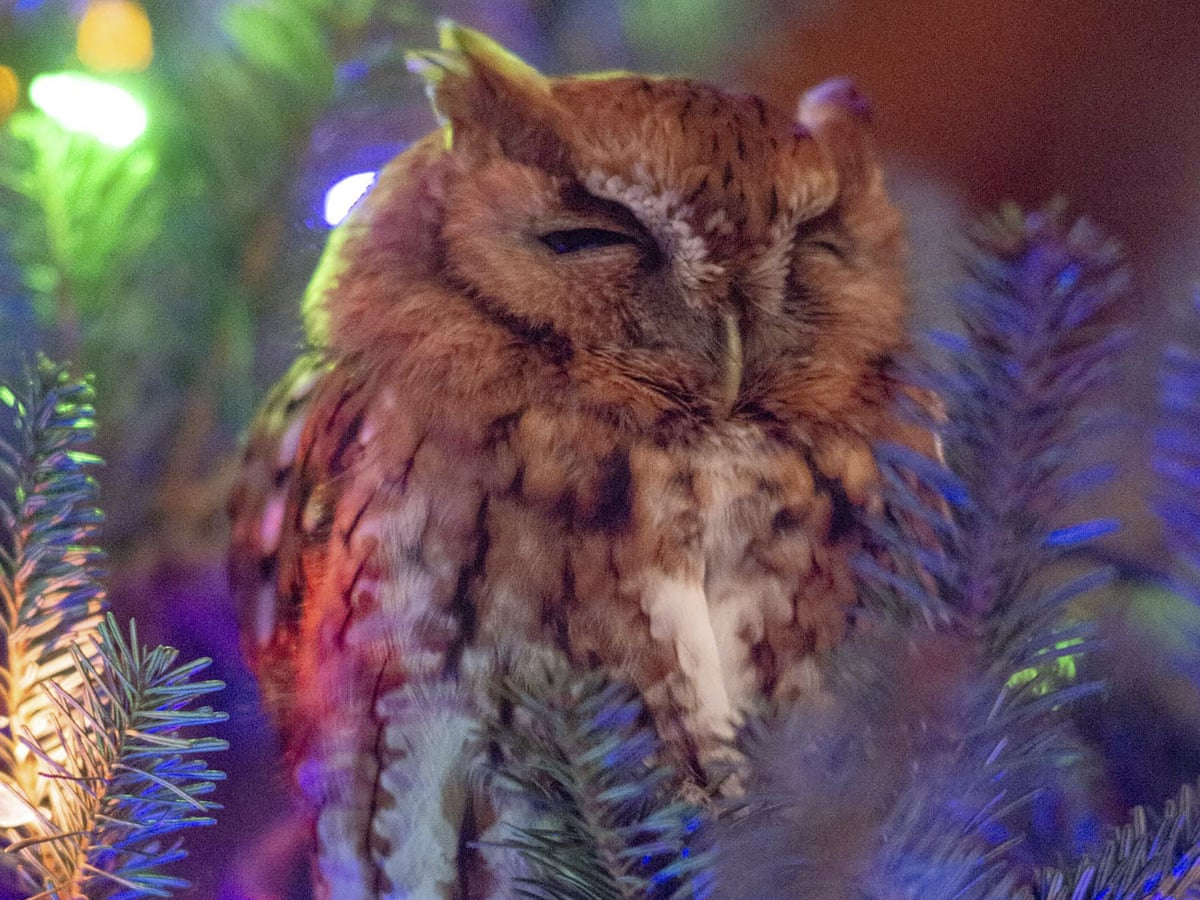 Family Finds Owl In Christmas Tree After A Week He Was Hugging The Trunk Birds The Guardian