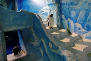 Harbin, ChinaGentoo penguins in a zoo during an annual ice festival