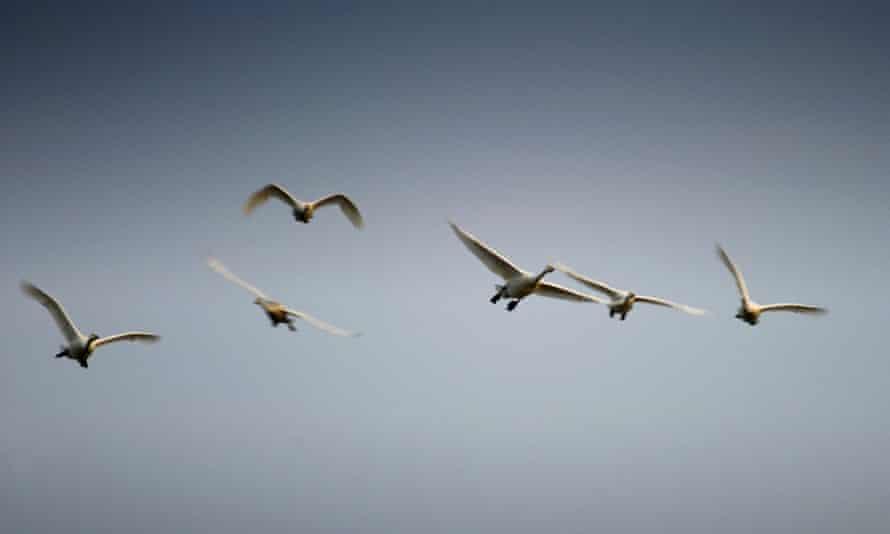 Whooper swans make landfall on the coast of Scotland.