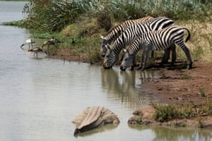 Zebras drink from a water hole while a crocodile watches, inside Nairobi national park, Kenya
