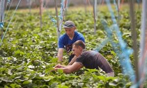 EU Migrant farm workers pick strawberries in Kent.