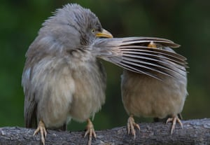 The jungle babbler is a member of the Leiothrichidae family found in the Indian subcontinent. They are gregarious birds that forage in small groups of six to ten, a habit that has given them the popular name of Seven Sisters or Saath bhai in Bengali. Taken in Bharatpur, Rajasthan.