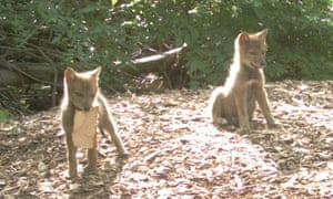 Coyote pups in the Bronx, New York City.