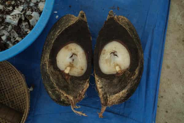 The fleshy kernel inside the coco de mer is removed for sale in east Asia, where it is believed to have aphrodisiac properties