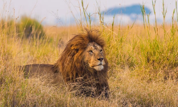 A giant African male lion in Tanzania.