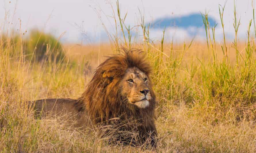 A giant African lion male keeps watch over his pride from the grasslands of the Serengeti National Park, Tanzania.