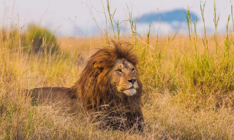A giant African lion male in the Serengeti National Park,