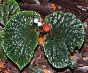 Begonia ruthiae was found along the trails of the Danum Valley in Sabah, in one of the last remaining areas of unlogged lowland forest in Borneo. It was named after Dr Ruth Kiew, who has spent many years studying the limestone flora of both Borneo and peninsular Malaysia.