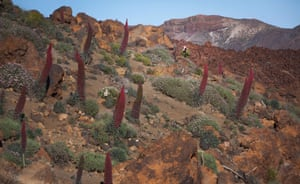 Echium wildpretii, or red bugloss, is endemic to the island of Tenerife.