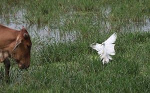 A cattle egret in wetland on the outskirts in Delhi, India. The cattle egret is a cosmopolitan species of heron