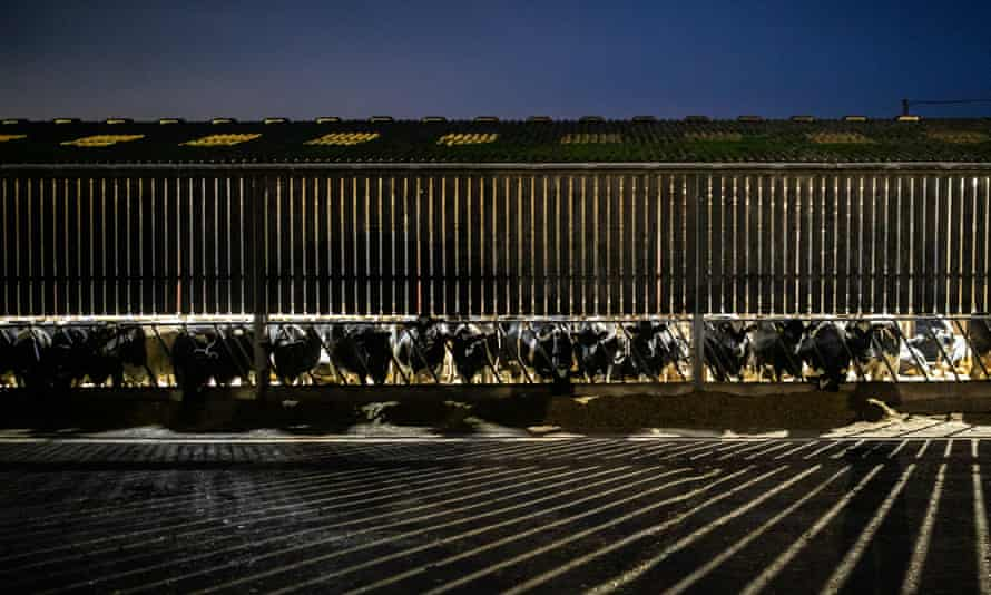 Cows in semi-outdoors shed at night