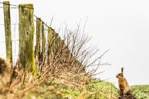 A brown hare on arable farmland near Roxburgh village in the Scottish Borders