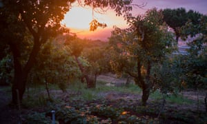Under the volcano … an orchard in the shadow of Mount Vesuvius. Photograph: Alamy