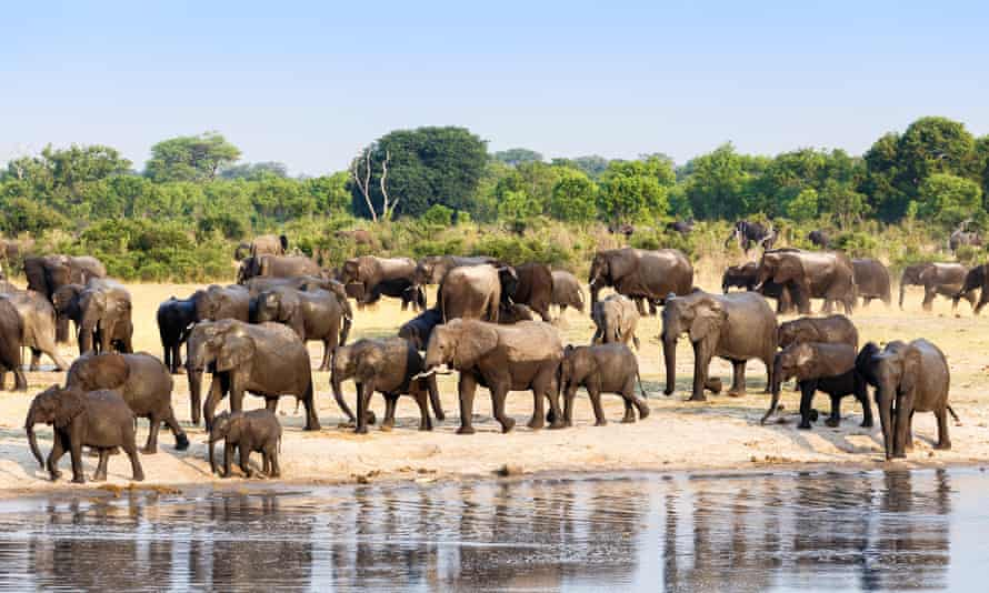 A herd of African elephants drinking at a muddy waterhole, Zimbabwe. Around 60% of elephant deaths are at the hands of poachers, figures show.