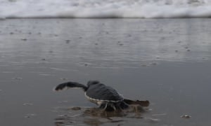 INDONESIA-ENVIRONMENT-ANIMAL<br>This picture taken on December 2, 2020 shows a baby sea turtle making her way out from the nests on a beach in Sukamade, Meru Betiri National Park in East Java. - Six of the world's seven turtle species can be found in Indonesia, an archipelago of more than 17,000 islands and home to a dizzying array of exotic wildlife. (Photo by Agnes Anya / AFP) (Photo by AGNES ANYA/AFP via Getty Images)