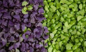 Small blessings: fresh organic purple and green microgreens.
