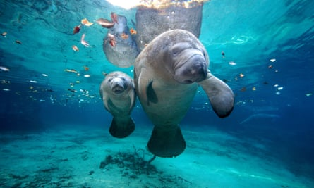A total of 540 manatees had died by August 12 this year, compared with 538 in 2017.