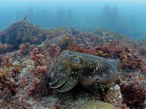 A cuttlefish in English waters
