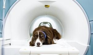 Wil, an Australian Shepherd, is put through the MRI scanner.
